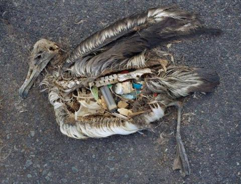 Dead albatross chick with plastic-filled stomach