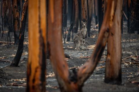 Kangaroo in burnt out bushland after Black Summer fires in Australia.