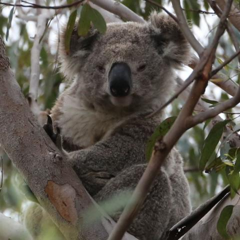A koala in his home.