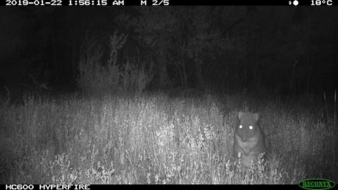 A long-nosed Potoroo caught on a Reconyx HC600 camera during a nightly forage for truffles