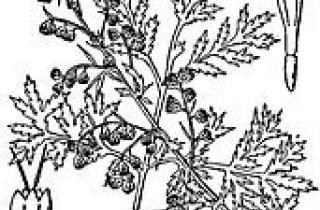 Artemisia annua is the source of a new teratment for malaria